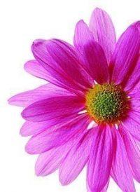 Pink Gerbera Daisy Wedding Paper