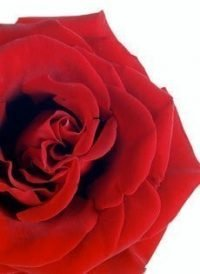 Red Rose Wedding Paper