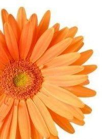 Orange Gerbera Daisy Wedding Paper